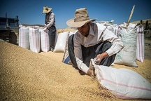 499 میلیارد تومان بهای گندم به حساب کشاورزان کردستانی واریز شد