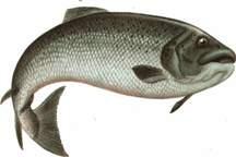 تولید 11 هزار تن ماهی سردابی در چهارمحال و بختیاری