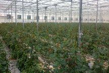 تولید 10 میلیون شاخه گل و گلدان زینتی در گلخانههای آبیک