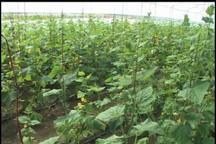 آغاز برداشت خیار گلخانه ای در ایرانشهر