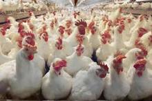 موردی از آنفولانزای فوق حاد پرندگان در کردستان مشاهده نشده است