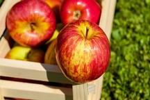 افزایش دو و نیم برابری صادرات سیب درختی از آذربایجان غربی