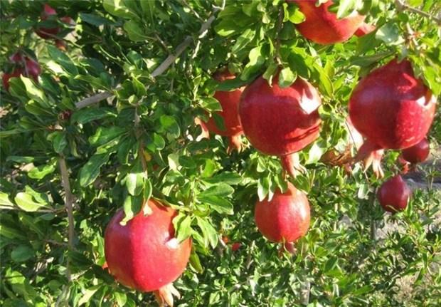 3 تن انار از باغ های حاجی آباد برداشت شد