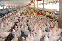 23 واحد مرغداری صنعتی گوشتی در ایرانشهر فعال است