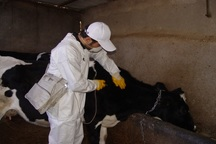 225 هزار راس دام در آبیک علیه تب برفکی واکسینه شدند