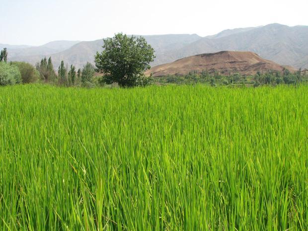 مبارزه با کرم ساقه خوار برنج در پنج هکتار از شالیزارهای قزوین انجام شد