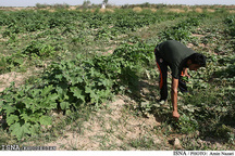 پیشبینی کشت پاییزه در سطح حدود 860 هزار هکتار از اراضی خوزستان