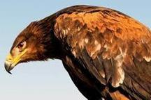 عقاب گرفتار در بالای درخت نجات یافت