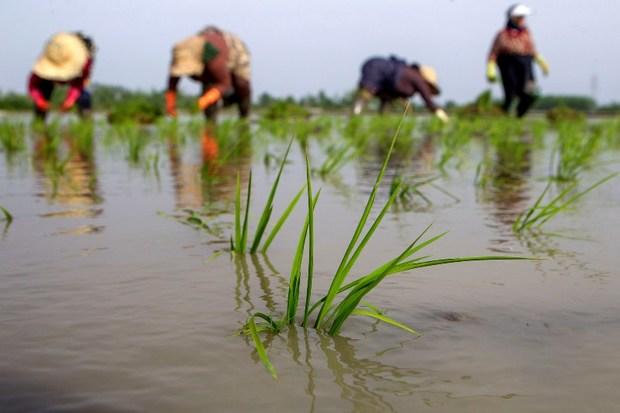 ارقام جدید برنج با هدف بهبود کمیت و کیفیت تولید معرفی می شود