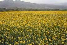 افزایش حدود 350درصدی خرید دانه روغنی کلزا در مازندران