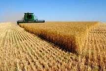 سالانه 6 هزار تن گندم در خرمدره تولید می شود