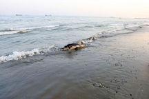 لاشه دلفین نواری و لاکپشت سبز در سواحل چابهار مشاهده شد