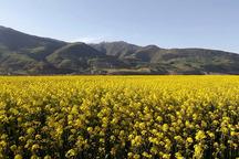 70 درصد برنامه کشت کلزا در کردستان محقق شد