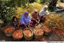 ارزآوری 40میلیون دلاری صادرات خرمای هرمزگان