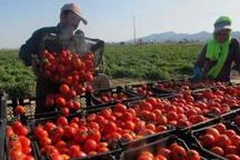 برداشت گوجه فرنگی در کهنوج