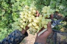 35 هزار تن محصول کشاورزی در ابرکوه تولید شد