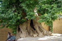 درختان سرو کهک و چنار نایه قم در فهرست ملی ایران به ثبت رسید