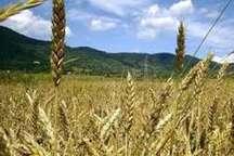 خطر شیوع بیماری های گندم در مزرعه های استان بوشهر