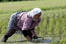 بررسی ممنوعیت کشت برنج در روزنامه خراسان شمالی