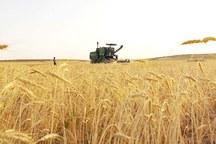خرید تضمینی گندم از کشاورزان استان مرکزی آغاز شد