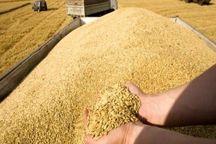 خرید تضمینی سه هزار تن محصول گندم مازاد کشاورزان یزد