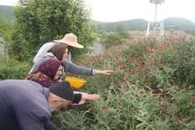 ظرفیت فرآوری 1545تن گیاه دارویی در گلستان فراهم است
