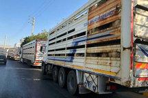 ورود محموله ۵۲۸ راسی دامهای آلمان به کشور از طریق مرز بازرگان