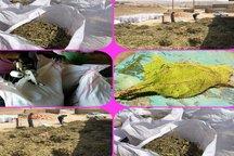 برداشت 21 هزار کیلو گیاه گل گاوزبان از مراتع شهرستان پلدختر