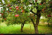 کاهش 30 درصدی صادرات سیب از آذربایجان غربی  تعهد پیمانسپاری ارزی، سد محکم صادرات است