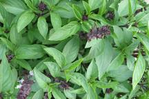 گیاهان دارویی - ریحان