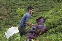 اعلام عکسهای برگزیده نخستین فراخوان عکس چای ایرانی