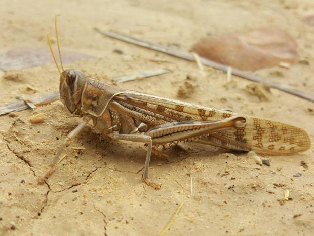 تمهیدات لازم برای مبارزه با ملخ صحرایی در جهرم انجام شده است