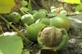 پیوند 35 هزار اصله درخت گردو در کهگیلویه و بویراحمد با ارقام مرغوب