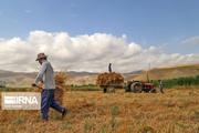 خسارت  سن گندم در اصفهان به صفر رسید