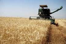 از شوره زار تا گندمزار؛ برداشت گندم از زمین های کشاورزی خرمشهر