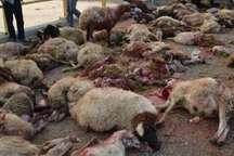40 راس گوسفند در تصادف با کامیون در پلدختر تلف شدند