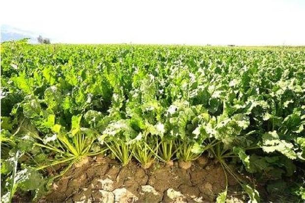 515 هزار تن چغندرقند از کشاورزان آذربایجان غربی خریداری شد