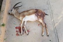 سگ گله بره آهو را در منطقه شکار ممنوع شکار کرد