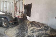 کشن کلزا در بیله سوار 350درصد افزایش یافت