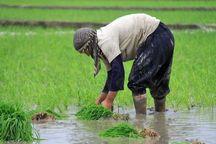 ۳۲هزار هکتار برنج در شوشتر کشت شد
