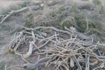 سالانه بیش از 20 تن تاغ از بیابان های استان سمنان قاچاق می شود