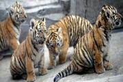 تحقیقات تکمیلی برای مرگ هفت توله ببر باغ وحش مشهد ادامه دارد