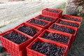 164 تن محصول خرما در آبادان خریداری شد