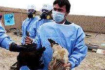 تلفات آنفلوآنزای حاد پرندگان در شهرستان اصفهان به 953 هزار قطعه رسید