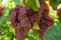 زنجان جزو هشت استان نخست کشور در تولید انگور است
