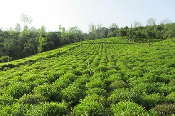 افزایش ده درصدی تولید چای در کشور