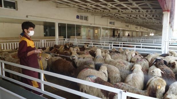 قیمت هر کیلو دام زنده در مراکز عرضه تهران 25800 تومان است