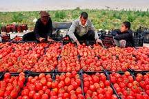 گوجه فرنگی خارج از فصل هرمزگان وارد بازار شد