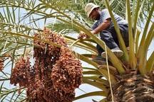 خوزستان به 11 کشور خرما صادر می کند