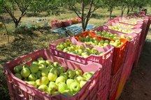 برداشت محصول سیب در کهگیلویه و بویراحمد آغاز شد